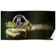 (Mopsus mormon male) Jumping Spider #3 Poster