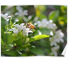 Bee on orange blossom Poster