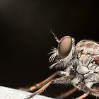 Robberfly Profile by Andrew Durick