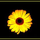 Yellow Gerbera by Edward Bozzard