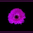 Purple Gerbera by Edward Bozzard