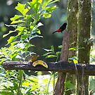 Cherrie's Tanager by Mark Prior