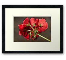 Red Geranium In Progress Framed Print