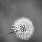 BW Dandelion by aebritton