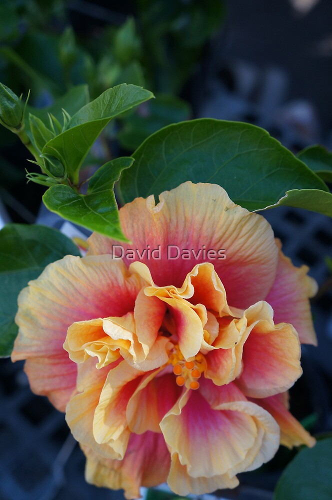 Hibiscus II by David Davies
