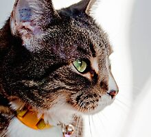 BOOTS-AMERICAN SHORTHAIR (TABBY CAT) by Laurast