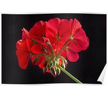 Red Geranium In Progress 2 Poster