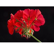 Red Geranium In Progress 2 Photographic Print