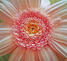 Pink Gerbera Textured by Chris Thaxter