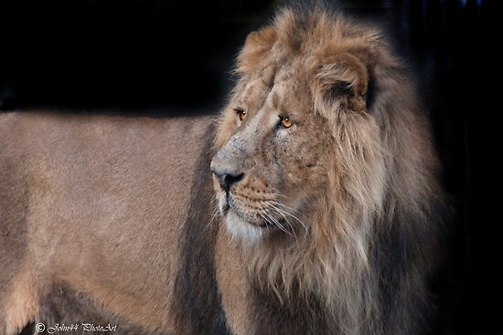 ..the King of the Jungle.. by John44