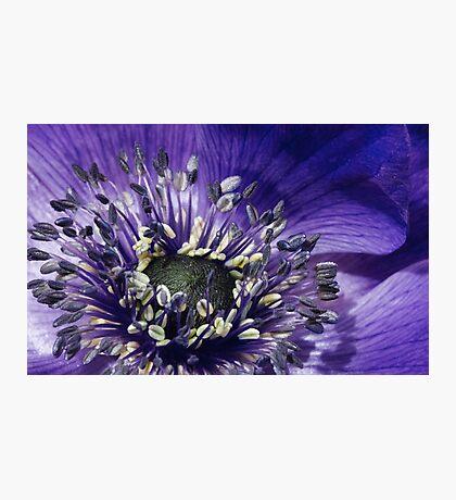 Blue Anemone Photographic Print