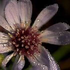 Dew Laden Michaelmas Daisy by Angie Morton