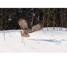 Great Grey Owl in flight - Ottawa, Ontario Photographic Print