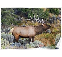 Bugling Bull - Yellowstone National Park Poster