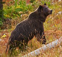 Dunraven Grizzly - Yellowstone National Park by Mark Kiver