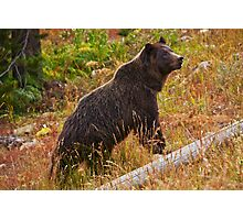 Dunraven Grizzly - Yellowstone National Park Photographic Print