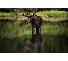 Reflecting Bull - Many Glacier Photographic Print