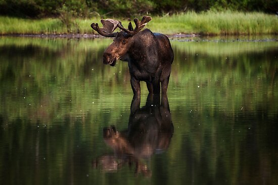 Reflecting Bull - Many Glacier by Mark Kiver