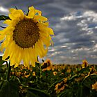 Sunflower Standing Watch over the field by LoneTreeImages