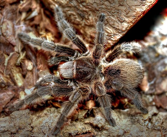 Chilean rose tarantula by larry flewers