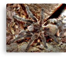 Chilean rose tarantula Canvas Print