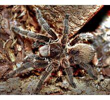 Chilean rose tarantula Photographic Print