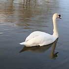 Swan Reflection by Paul Hutcheon