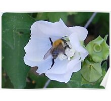 Busy Bee on a white flower Poster