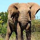 African Elephant getting a bit cheeky by Edward Ansett-Cunningham