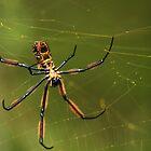 Nephila Orb-weaver spider by Edward Ansett-Cunningham
