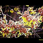 Witch Hazel by thepicturedrome