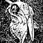 Sheep Skull by thepicturedrome