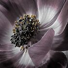 Magenta Anemone by Angie Morton