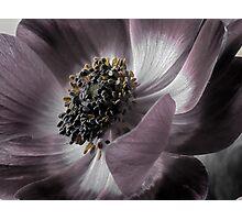 Magenta Anemone Photographic Print