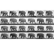 Elephant walking, plate 733 from 'Animal Locomotion', 1887  Photographic Print