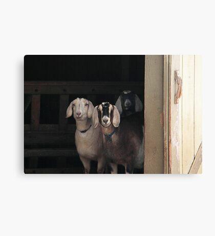 Goats ~ Canvas Print