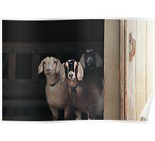 Goats ~ Poster
