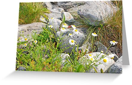Doolin Daisies by mcstory