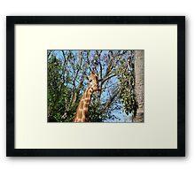 Giraffe and jacaranda  Framed Print