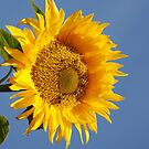 Sunflower by julie08