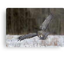 Great Gray Owl Intensity. Metal Print