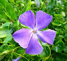 Periwinkle And The Aphids by Fara