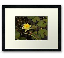 Lotus in the pond Framed Print