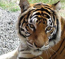 Tiger Stare by Deborah  Janke