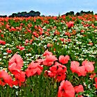 Poppyland, Colby, Norfolk by JohnYoung