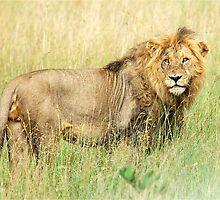 I HATE CAMERAS! - THE LION – Panthera leo - LEEU by Magriet Meintjes