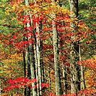 AUTUMN MAPLES,LITTLE RIVER ROAD by Chuck Wickham