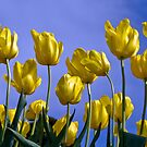 Spring Tulips, Hobart by Brett Rogers