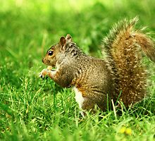 Squirrel by iinspiration