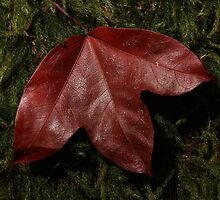 Maple leaf by iinspiration
